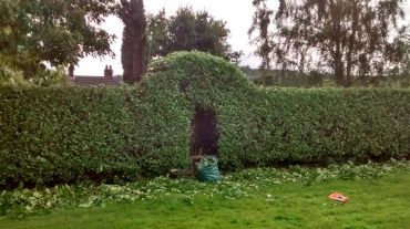 Laurel hedge reshaped