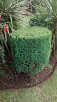 Shaping of topiary conifer